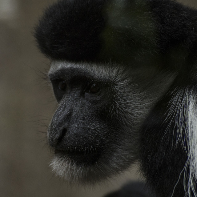 """Colobus Monkey"" stock image"