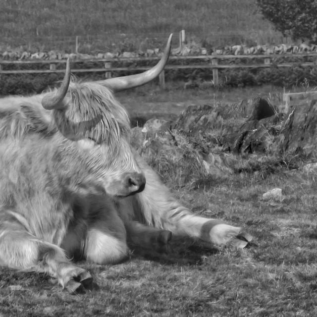 """""""A Resting Highlander"""" stock image"""