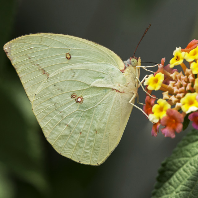 """Clouded Yellow Butterfly"" stock image"