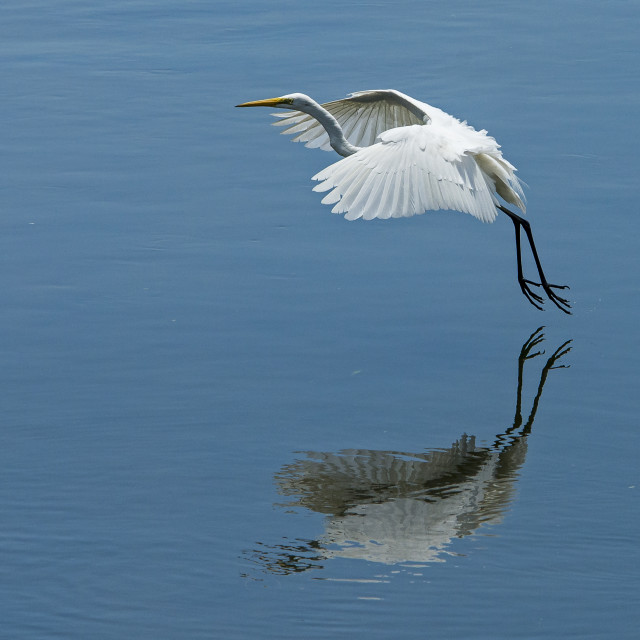 """Great Egret (Ardea alba) (VIII)"" stock image"