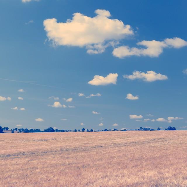 """Large Barley Field & Blue Sky Instagram Square"" stock image"