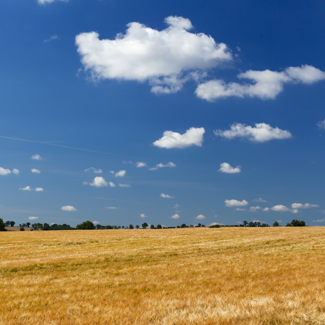 """Large Barley Field & Blue Sky Square"" stock image"