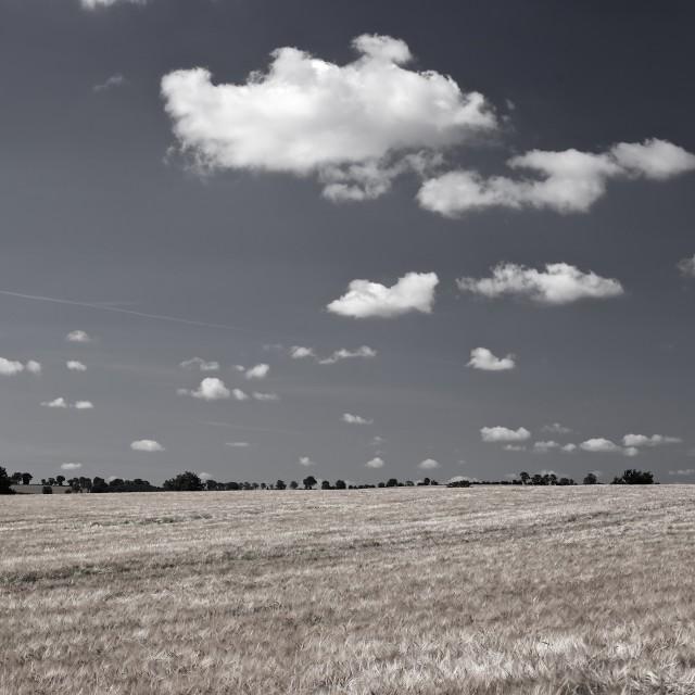 """Large Barley Field black white Instagram Square"" stock image"