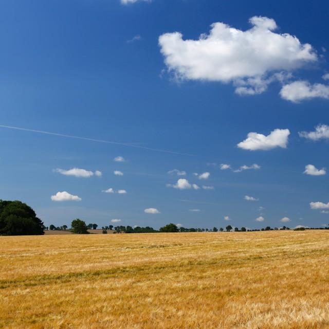 """Large Barley Field & Blue Sky"" stock image"
