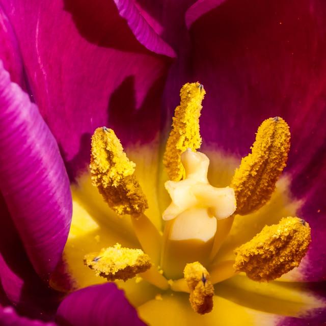 """Tulip Closeup"" stock image"