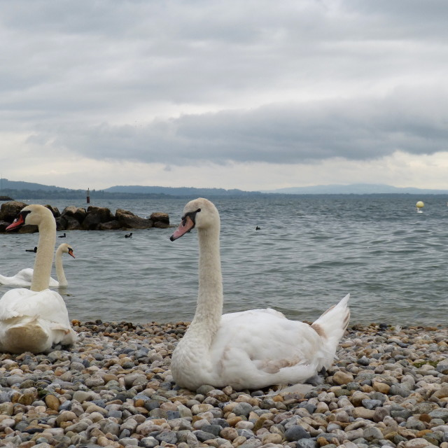 """""""White swans over the lake"""" stock image"""