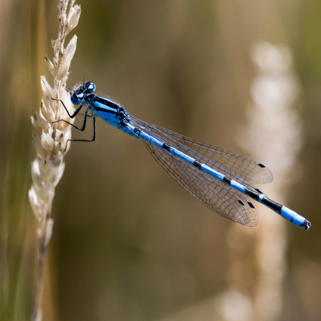 """Common Blue Damselfly (Enullagma cyathigerum)"" stock image"