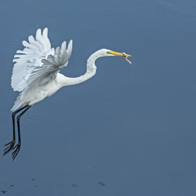 """Great Egret (Ardea alba)"" stock image"