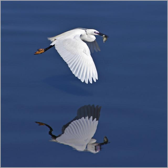 """Little Egret (Egretta garzetta) (VI)"" stock image"