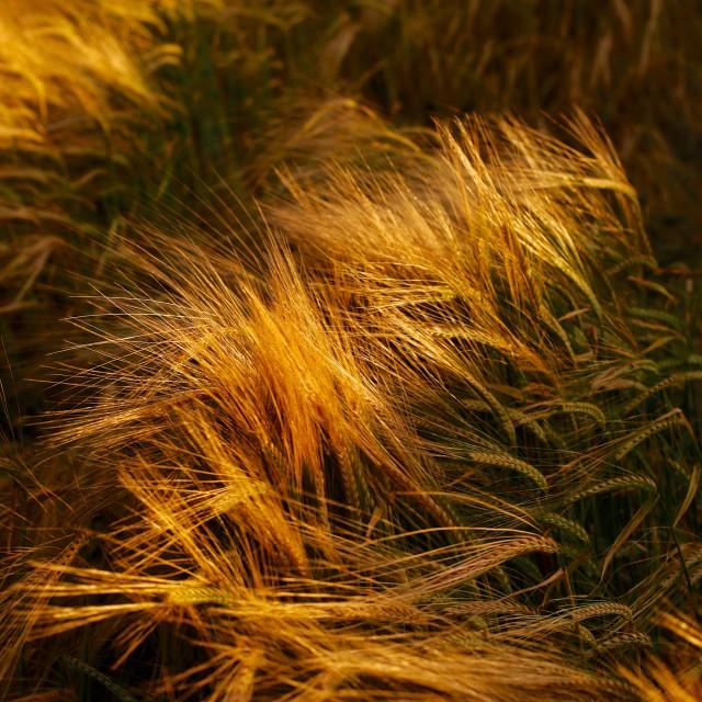 """Soft Warm Barley Crop Plant Detail"" stock image"