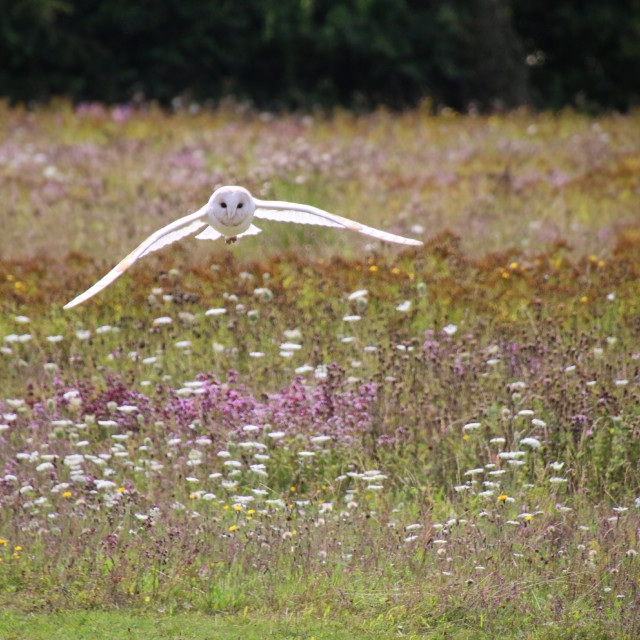 """Barn Owl in the meadow"" stock image"