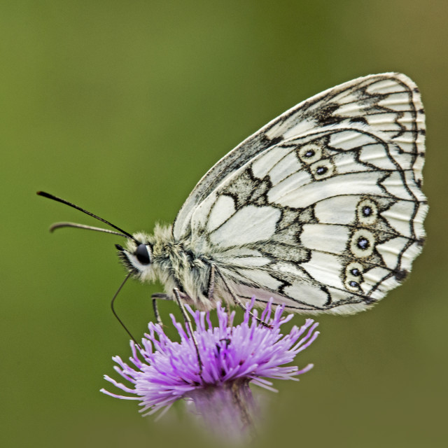 """Marble White Butterfly (Melonargia galathea) (IV)"" stock image"