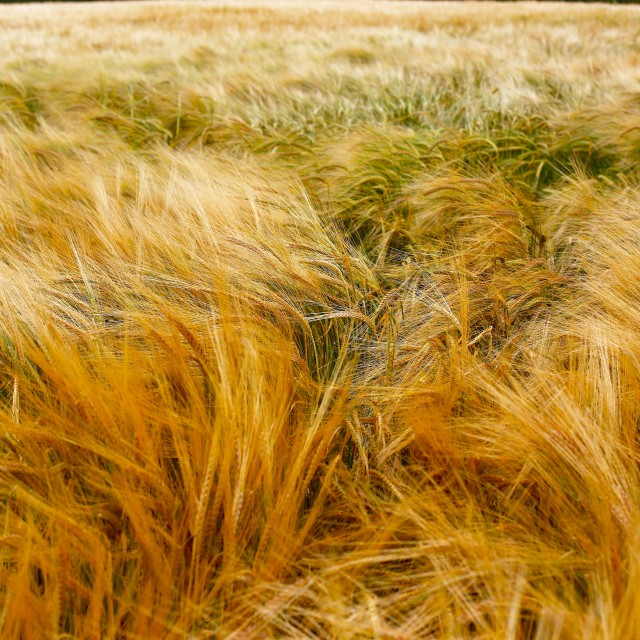 """Soft Warm Barley Crop Plant Texture"" stock image"