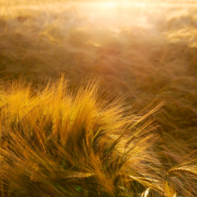 """Soft Warm Barley Crop Plant Detail"" stock image"