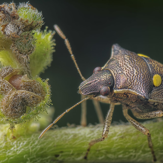 """Shield bug"" stock image"