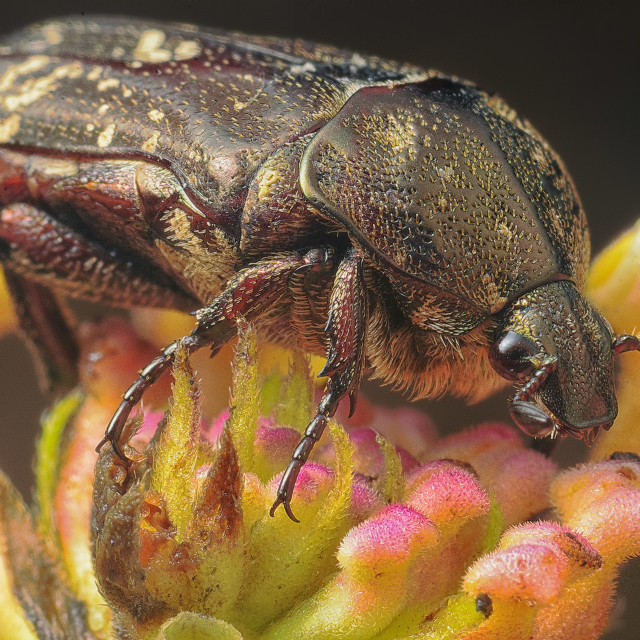 """""""Chafer"""" stock image"""