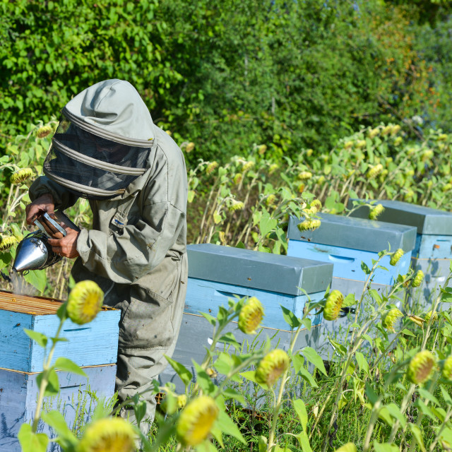 """""""Bee Keeper Working with Bee Hives in a sunflower field"""" stock image"""