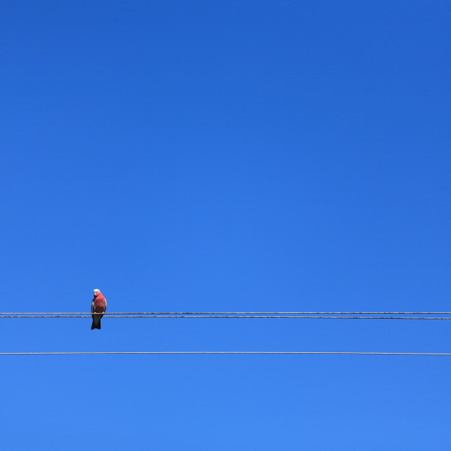 """Galah on a power line"" stock image"