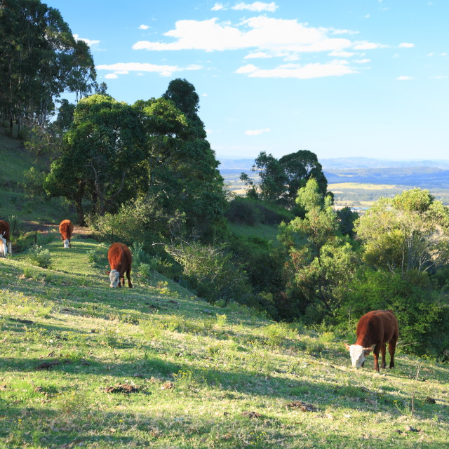 """""""Hunter Valley cattle"""" stock image"""