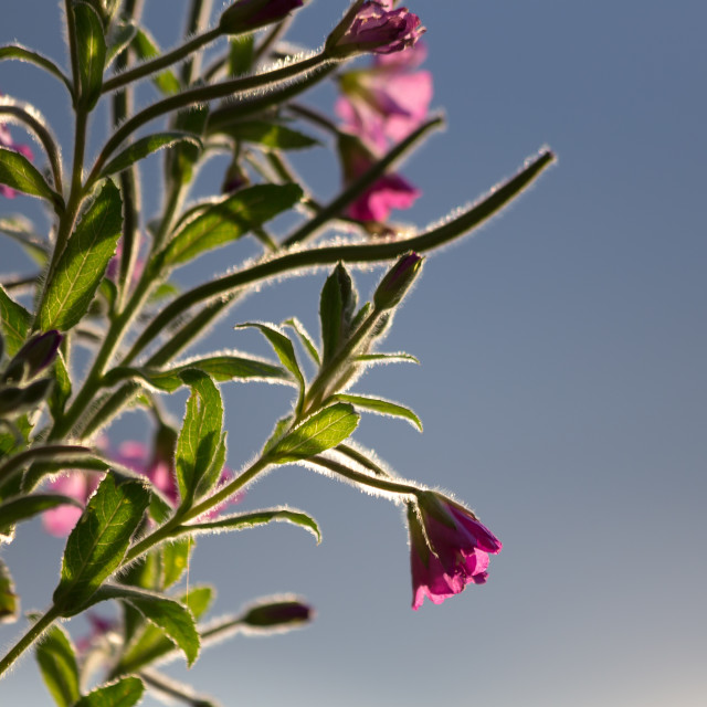 """Willow Herb Flower Blue Sky"" stock image"