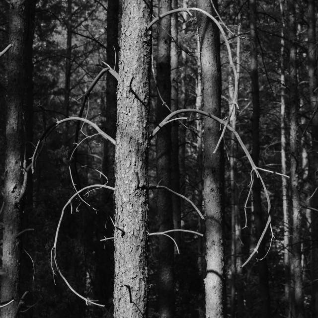 """""""Pine Trees"""" stock image"""