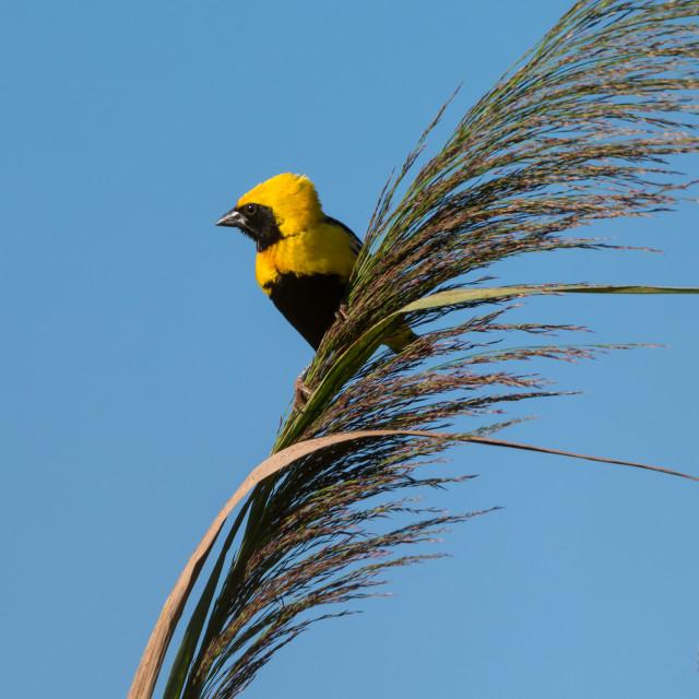 """""""Golden Bishop bird"""" stock image"""