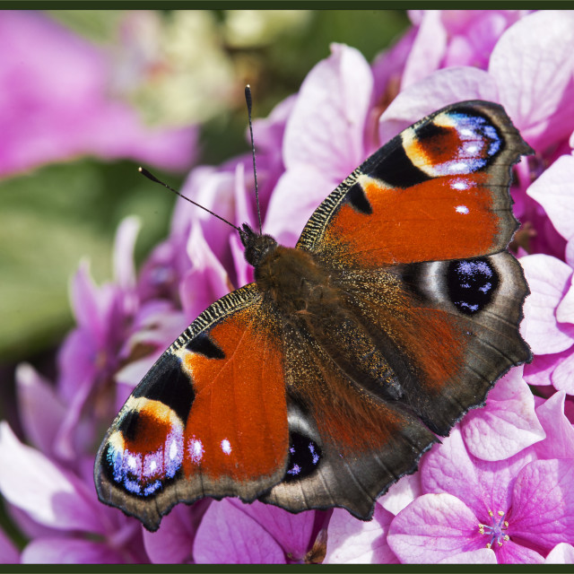 """""""Peacock Butterfly (Inachis io) (I)"""" stock image"""