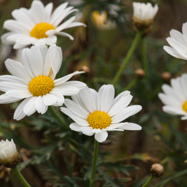 """""""The daisies"""" stock image"""