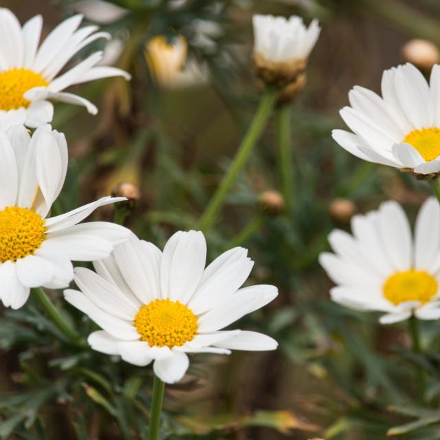 """The white daises"" stock image"