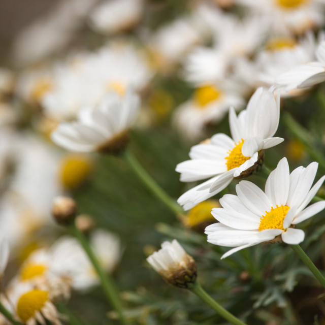 """Carpet of daisies"" stock image"