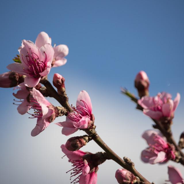 """peach flowers"" stock image"