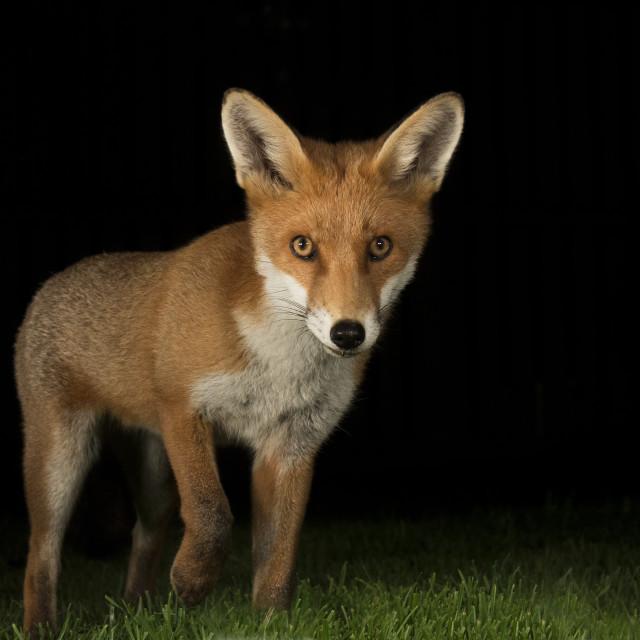 """Red fox urban"" stock image"