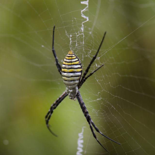 """Spider in cobweb"" stock image"
