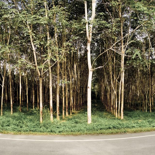 """Rubber plantation"" stock image"