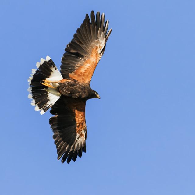 """Harris Hawk displaying overhead"" stock image"