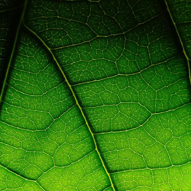 """""""Leave from Avokado tree"""" stock image"""