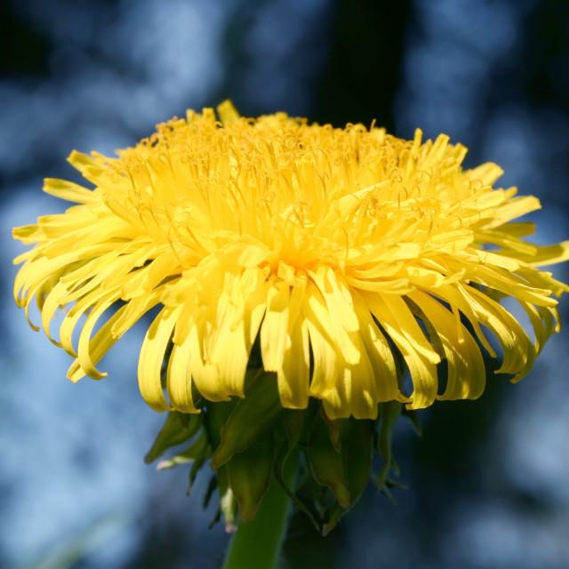 """Yellow Blossom"" stock image"