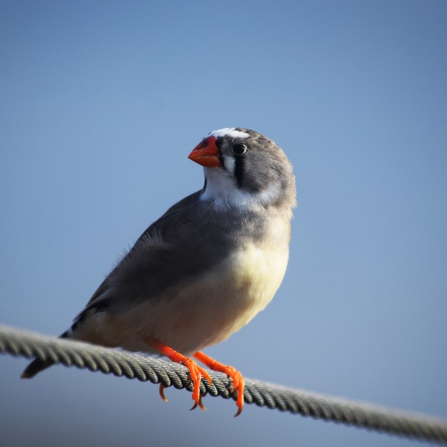 """Female Zebra Finch"" stock image"