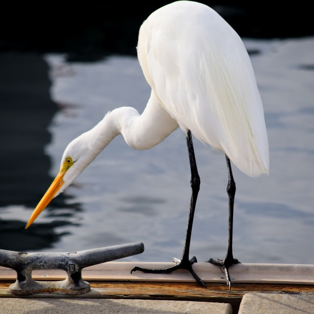 """Great White Egret"" stock image"