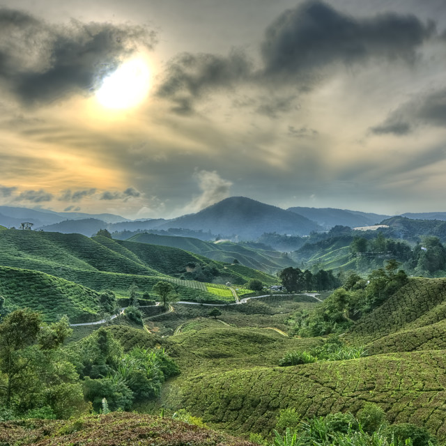 """Boh tea plantation"" stock image"