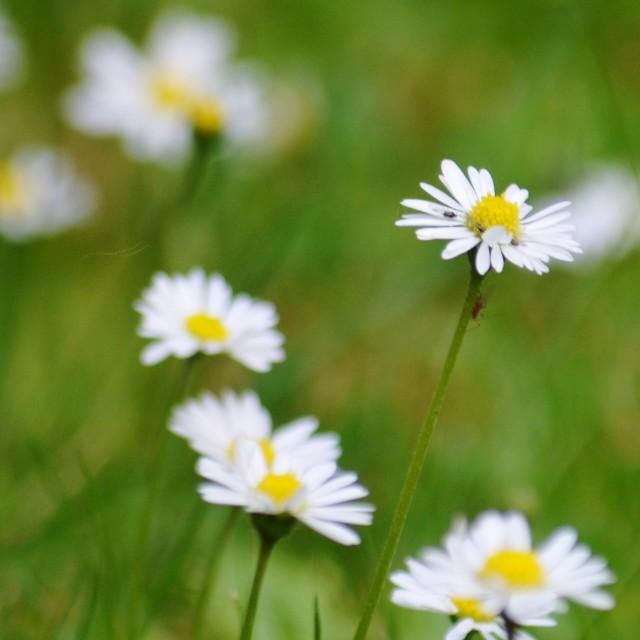 """Daisy Bugs"" stock image"