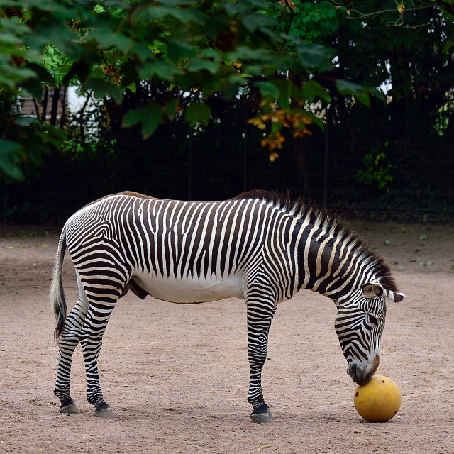 """Zebra and Ball"" stock image"