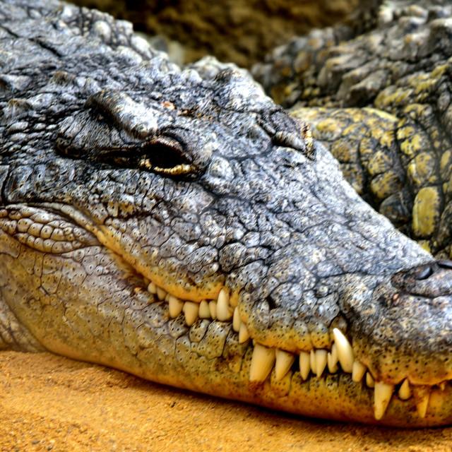 """""""Crocodile"""" stock image"""