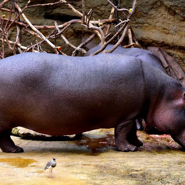 """""""Hippo"""" stock image"""