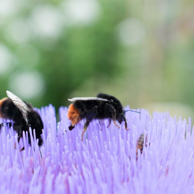 """""""Bees on flower"""" stock image"""