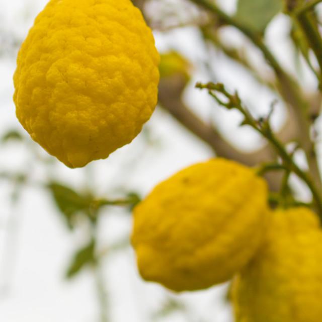 """Italy: Lemons on the tree"" stock image"