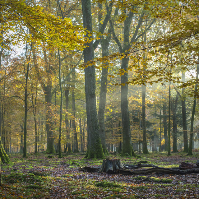 """Gold, New Forest - Poundhill inclosure"" stock image"