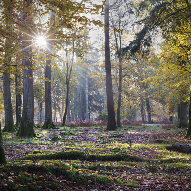 """Ray of light, New Forest - Poundhill inclosure"" stock image"