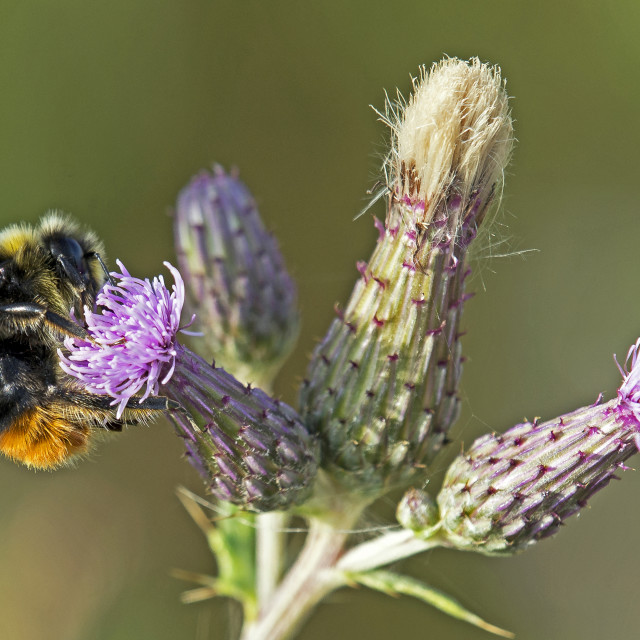 """Red Tailed Bumblebee (Bombus lapidarius)"" stock image"