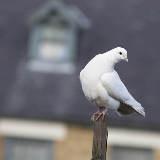"""White Dove"" stock image"